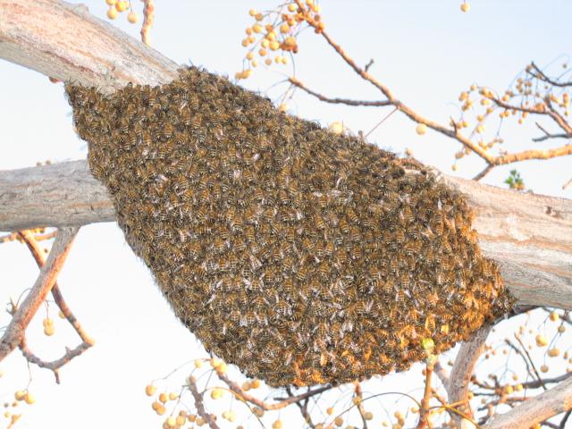 swarm of honeybees