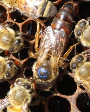 queen HONEYBEES FOR SALE