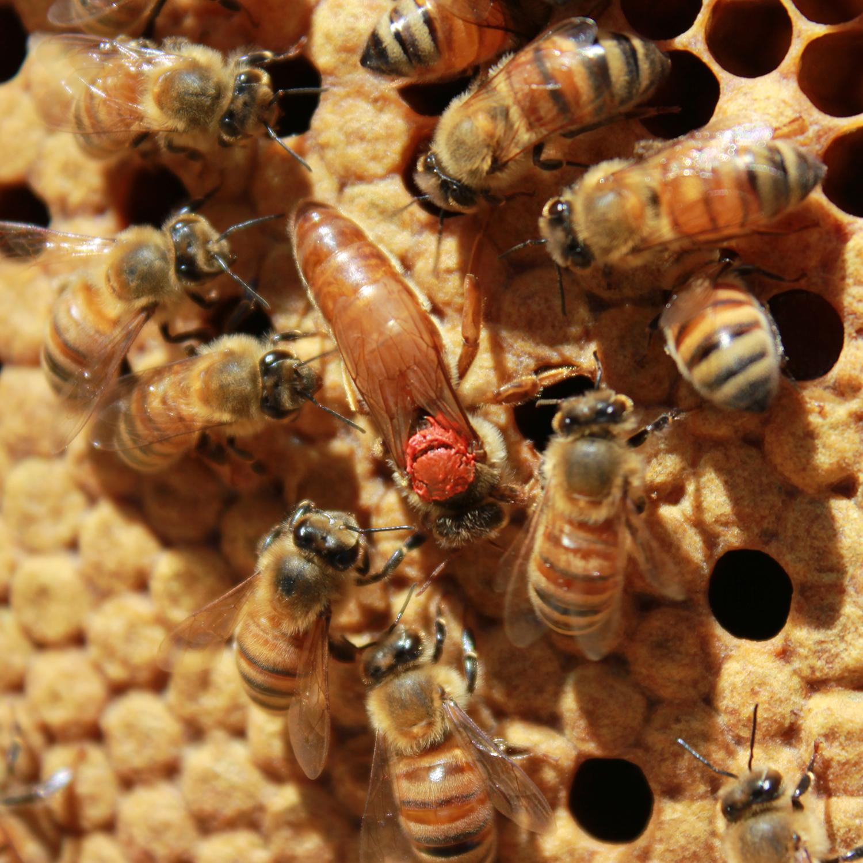 Buckfast queen honeybees - LOCAL HONEY MAN