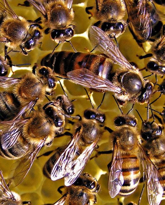 Carnica queen honeybees - LOCAL HONEY MAN - photo#33